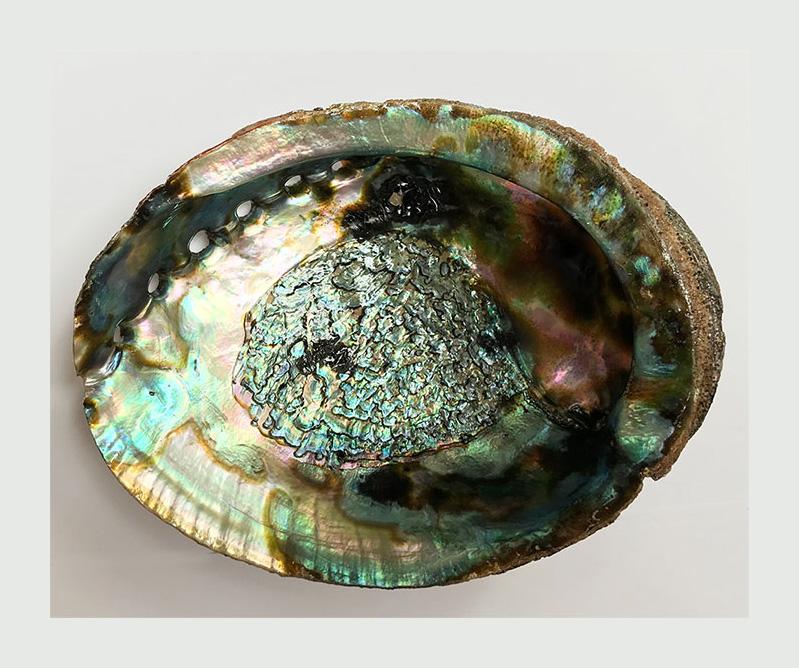Abalone shell  5 inch