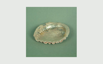 Abalone shell small, 2 inch plus