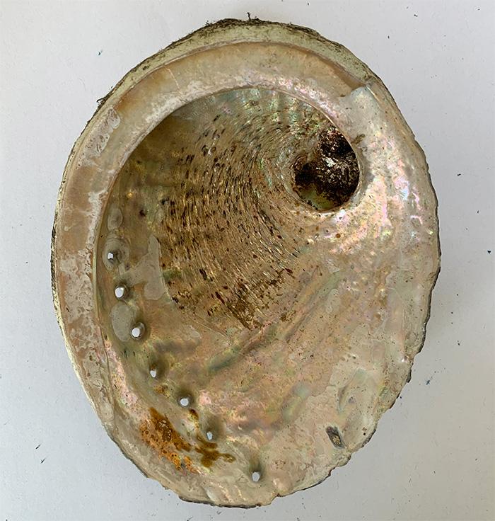 Abalone Shell 4-5 inch Australia