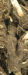 Snake root osha, 1lb. Bag 453g