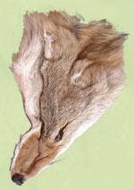 Coyote scalp